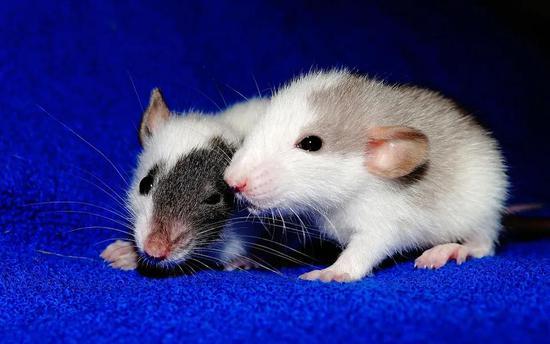 科学家用幼鼠钻研癌症免疫治疗新途径。图片来源:pixabay