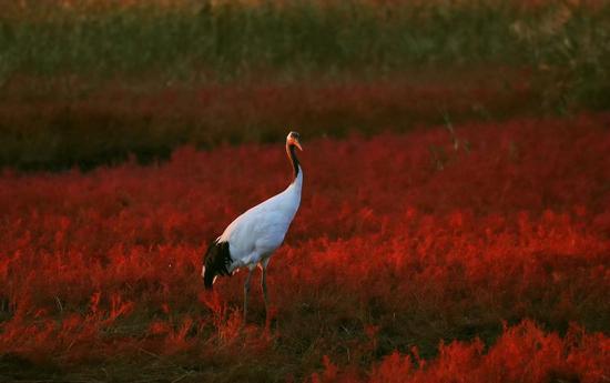 《红海中的丹顶鹤》 會來 作品