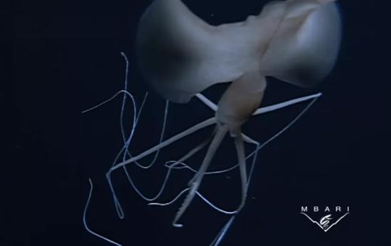 巨鳍乌贼的身体,可以看到巨大的鳍占了身体的绝大部分。图片来源:Corner of the Cabinet