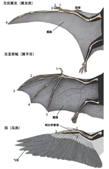 三种脊椎动物动力飞行的结构(图片来源: 互动科普 )
