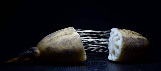 """受""""藕断丝连""""启发,科学家制出新型仿生手术缝线"""