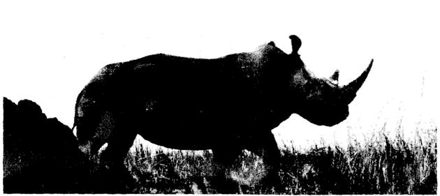 加兰巴国家公园内的一头雄性北部白犀牛© Kes Hiilman-Smith