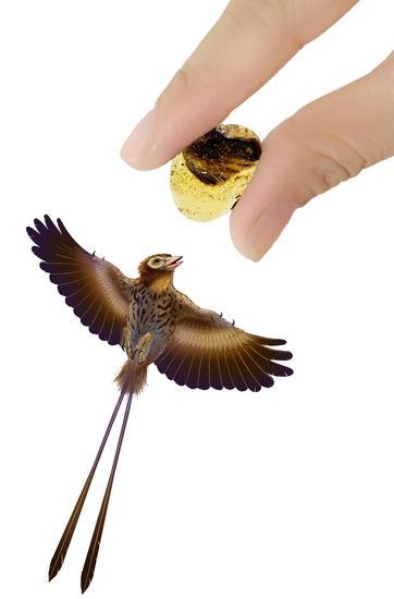 手部,天使之翼标本,反鸟的同等比例复原图--制图王申娜