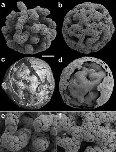 �@是�\脊球化石,a和b是裸露的�吮荆�囊包已�G失,c和d是保存了囊包的�吮荆�e和f是a和b的局部放大,�@示�胞�Y����。