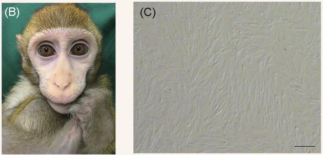 左图为之前获得的一只Bmal1基因敲除猴,它在本次实验中提供了核供体细胞。右图为从它体内提取、培养的核供体细胞。