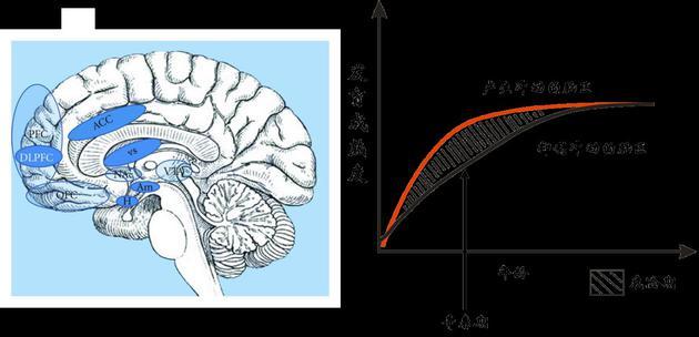 大脑中产生冲动和抑制冲动的脑区(左图)。青春期前后的一段时间内,产生冲动的脑区其发育成熟度要大于抑制冲动的脑区(右图)。处于这个年龄段的青少年往往难以控制冲动、冒险、反叛等行为,并忽视这些行为可能对自己带来的危险