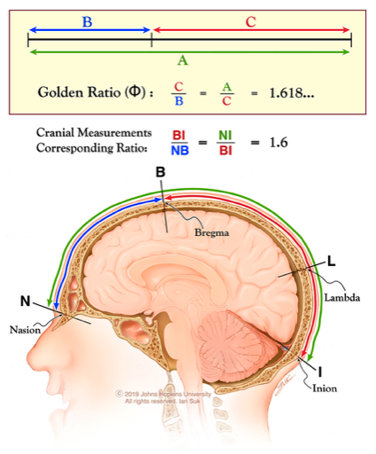 發現人類頭骨存在兩條虛線,遵循著黃金比例,一條從鼻根點(靠近眉毛的鼻梁位置)延伸至腦后枕骨隆突,另一條從鼻根點延伸至前囟點(顱骨冠狀縫與矢狀縫會合處,頭頂3塊骨骼交匯位置)。