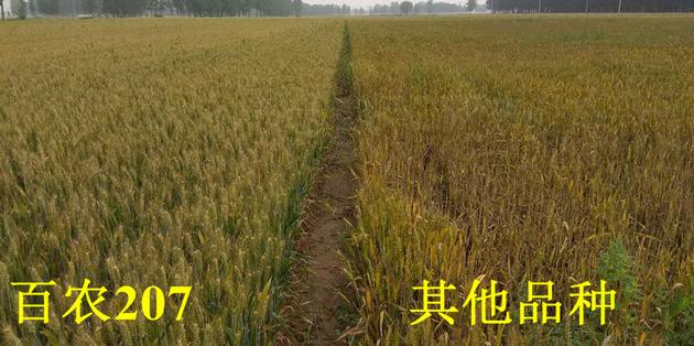 2018年百农207耐倒春寒表现