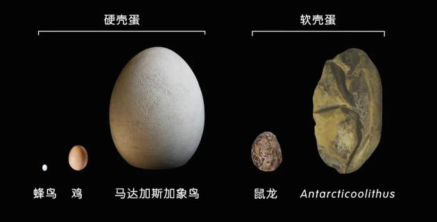新钻研中的柔壳蛋化石与其他蛋类的尺寸对比暗示。| 图片设计:雯雯