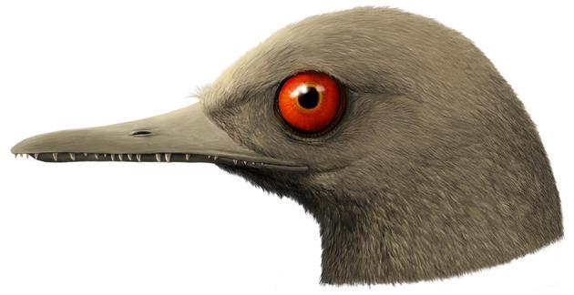 眼齿鸟头部复原图 绘图 韩志信