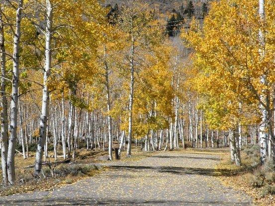 """美国的潘多山杨林位于犹他州,又被称为""""颤抖的巨人"""",正在逐渐物化亡。"""