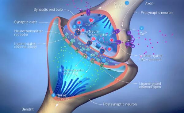 在这张脑细胞的三维图像中,可以看到突触前神经元(上)、突触后神经元(下)以及它们之间的间隙,也就是突触