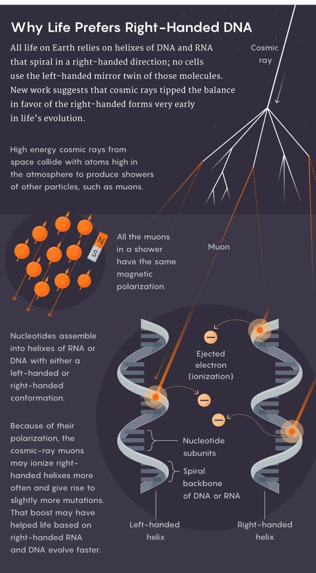 为什么生命偏爱右旋的DNA?地球上的所有生命都依赖于右旋的DNA和RNA螺旋链;没有细胞会使用这些分子的镜像手性分子。一项新研究指出,宇宙射线的电离作用更常施加于右旋的DNA和RNA螺旋,使其产生更多的突变,从而导致基于右旋DNA和RNA的生命演化得更快。