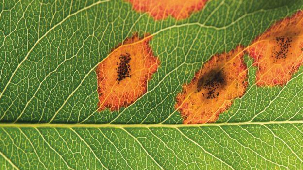 真菌引起的锈病能造成严重的破坏