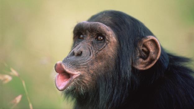 """一只黑猩猩在""""喝倒彩""""。"""
