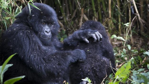 山地大猩猩也是一栽社会性动物。