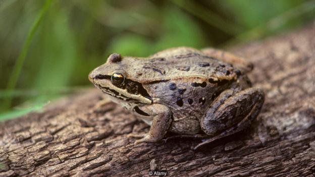 """北美的林蛙具有所谓""""隐生""""能力,即它们可以让自己所有的新陈代谢过程看起来完全停止,但仍然是活的。"""