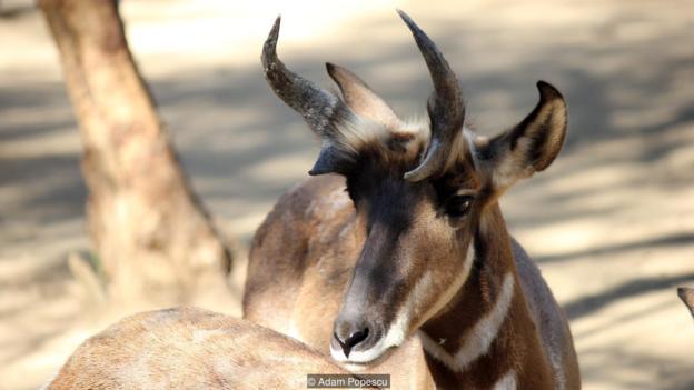 被圈养起来的叉角羚
