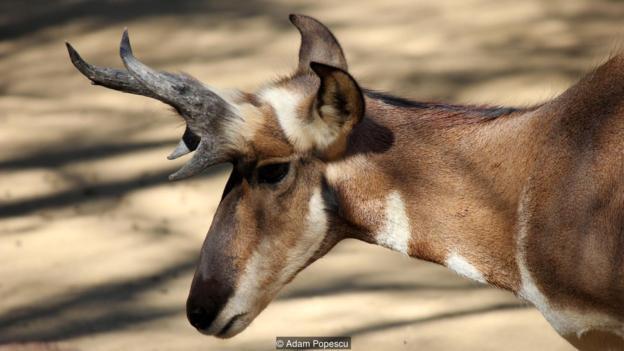 虽然长得像羚羊,但叉角羚其实并不属于羚羊类