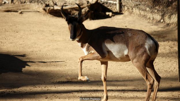 叉角羚在11000年中几乎没有变化