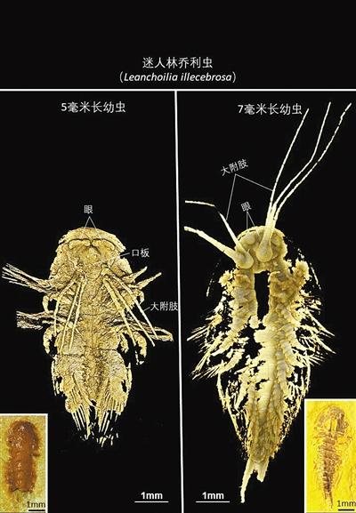澄江生物群迷人林乔利虫幼虫标本照片及CT三维图像 受访者供图