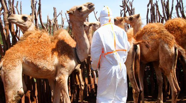 接近骆驼并采集血样或拭子需要相当谨慎