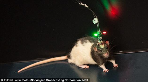 """博士生乔根•休格说:""""实行中的工夫信号的奇特性评释,在实行连续的两个小时之内,老鼠对工夫和工夫序列的记录十分好,我们可以或许利用工夫编码的网络信号准确跟踪实行中产生种种变乱简直切工夫。"""""""