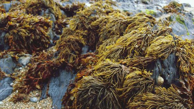 印尼初创企业Evoware行使海藻行为一栽解决方案,现在该公司制作的三明治、汉堡包外包装,调味包和咖啡包装袋,胖皂包装,都是行使海藻制造的。