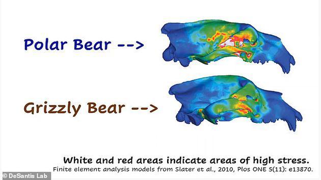 北极熊的臼齿比灰熊小,但它们的犬齿比灰熊大,这是因为他们吃较软的脂肪组织。但作为补偿,北极熊的头骨被拉长,更方便猎杀海豹。