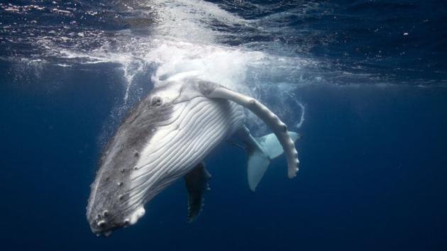 鲸鱼被认为是一种智商很高的社会性动物。
