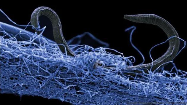 非洲一处金矿地下1.4公里处发现一栽真核细胞线虫,现在科学家最新钻研称,地下环境暗藏着大量生命形态,有150-230亿吨碳质量,这相等生活在地球表面75亿人口碳质量的385倍。
