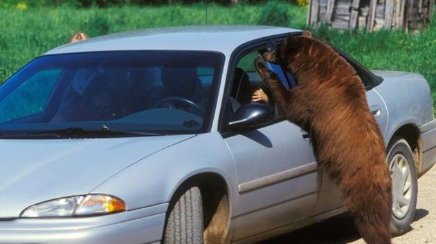 在车里寻找零食的熊。人类食物可占到黑熊日常食物的30%