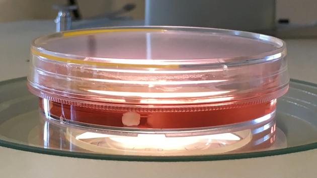 通过研究人类和近亲物种的大脑发育,能够理解导致人体细胞和组织与众不同的机制和根源,目前我们拥有先进的技术可以实现实验室培育大脑组织,这些技术包括:诱导性多能干细胞、CRISPR基因编辑技术、类器官和单细胞基因组学