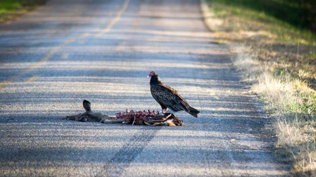 被汽车撞伤死亡的野生动物是可以安全食用的,但是你需要遵循一些基本的预防措施,首先要对该动物尸体进行检查,确保其撞死之前没有患病或者伤口。