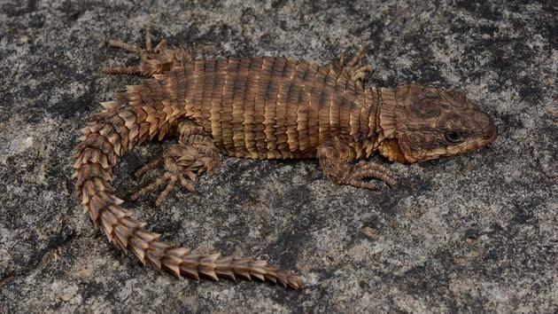 图中是在安哥拉第二高峰上发现的环带蜥蜴。