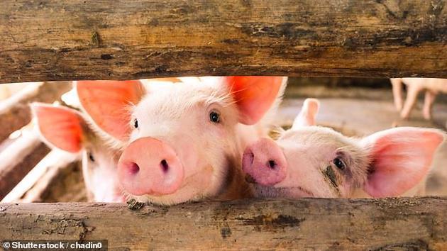 科学家成功在猪的淋巴结上培植出备用肝脏