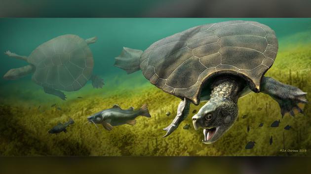 一只硕大的雄性地纹骇龟(前)和一只硕大的雌性地纹骇龟(左)在觅食(渲染图)