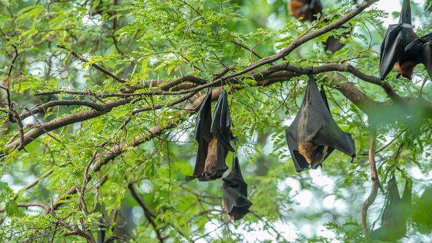 固然蝙蝠携带病毒,但它们也议决吃昆虫而协助人类控制疾病。