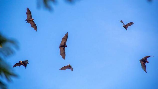 果蝠在马德看早市上空飞过