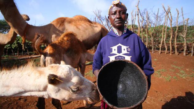 骆驼是马萨比特许多家庭的宝贵财富。在世界上许多地方,人类与这些动物都有密切的接触
