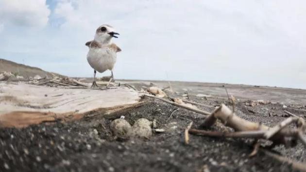 图6 在热带海滨繁殖的环颈鸻,亲鸟腹部沾水来为蛋降温。(摄影师:刘威廷)