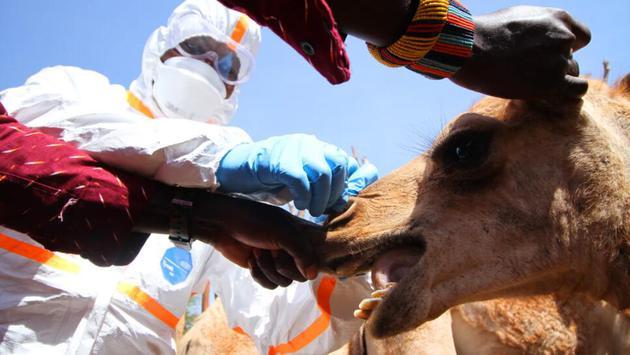 从骆驼身上提取样品有个窍门——先抓住尾巴,然后抓住它的耳朵,再握住它的嘴唇