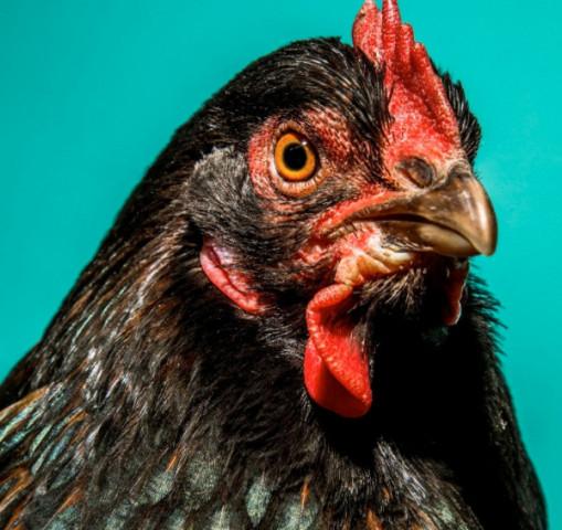 """硅谷精英的最新乐趣:不是""""吃鸡""""而是养鸡硅谷鸡舍养鸡"""