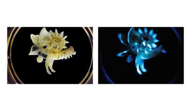 多毛类动物鳞沙蚕的黏液能在体外发光,因此不会浪费生物体的能量