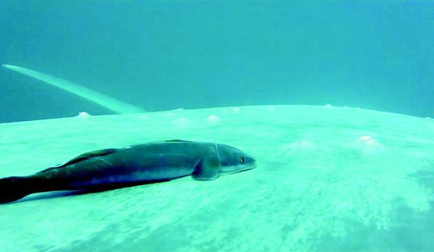"""䲟鱼的""""吸盘""""实际上并没有紧贴在鲸的皮肤上,而是皮肤上方盘旋,形成一个低压区,从而吸附在鲸的身边"""