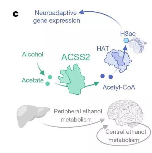酒精和乙酸盐在酶ACSS2的作用下,均能直接导致组蛋白的乙酰化,影响大脑基因的表达。
