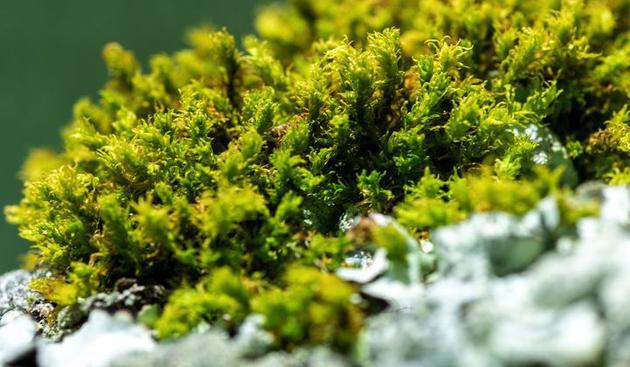 由于缺乏信息和研究,热带地区的苔藓植物如今正在遭遇重重威胁。