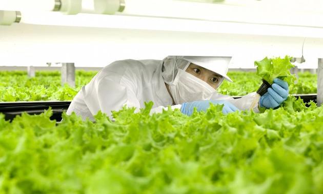 工人在照料室内农场的生菜,图片来自Spread
