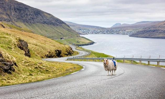 采集街景有奇招:谷歌协助岛上居民用羊拍街景
