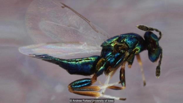體型微小的寄生蜂Euderus set